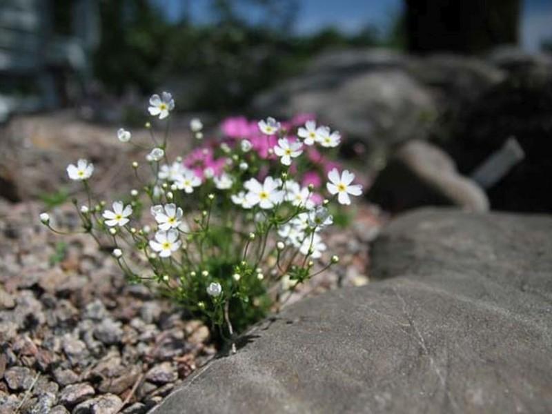 Plantes Alpines 2